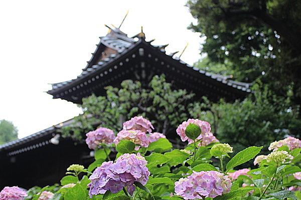 あじさいが色づく雨季の白山神社