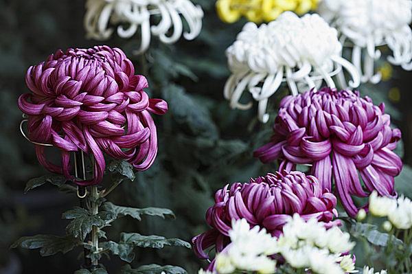 七十二候≪菊花開~きくのはな ひらく~≫食して美味、鑑賞して美麗、菊の花