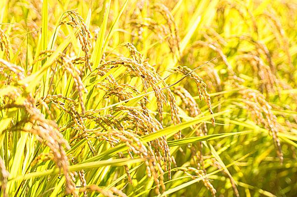 「稲」の画像検索結果