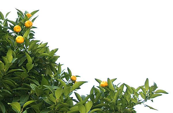 七十二候≪橘始黄~たちばな はじめてきばむ≫不老長寿の象徴・橘の実が黄色く色づく時節