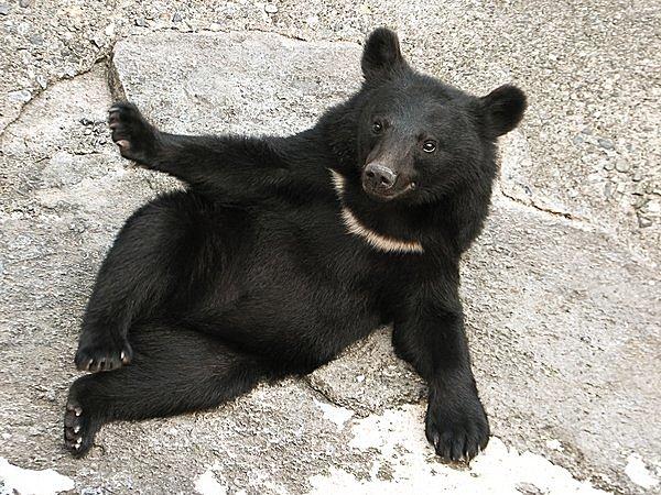 冬ごもりのクマ、寝ながらこんなことしていたとは?! 七十二候「熊蟄穴(くまあなにこもる)」。