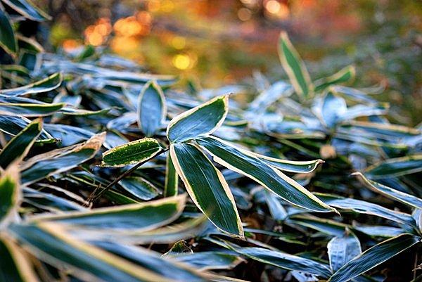 クマザサ(イネ科)。秋〜冬に淵が白く隈取りされるから「隈笹」とも