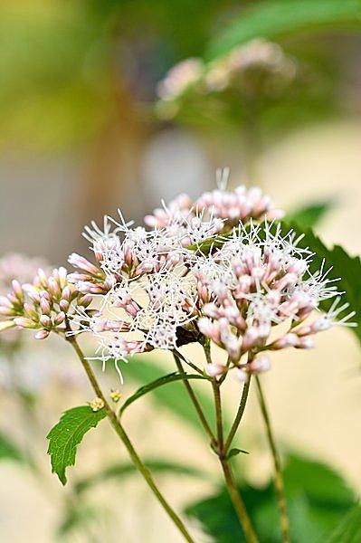 可憐な花を咲かせる、秋の七草のひとつフジバカマ。花言葉は「ためらい」
