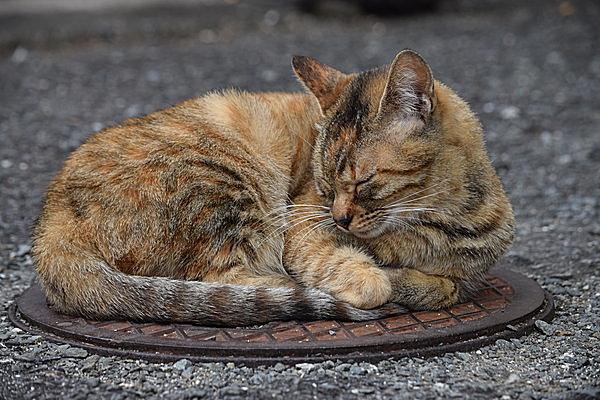 猫はマンホールが好き?