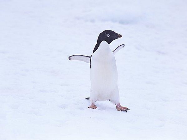 「ファースト・ペンギン」って何? 可愛いだけじゃない!! びっくりぽんなペンギンの集団生活とは