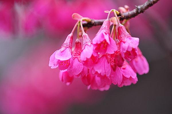 下向きに咲くのが寒緋桜ならでは